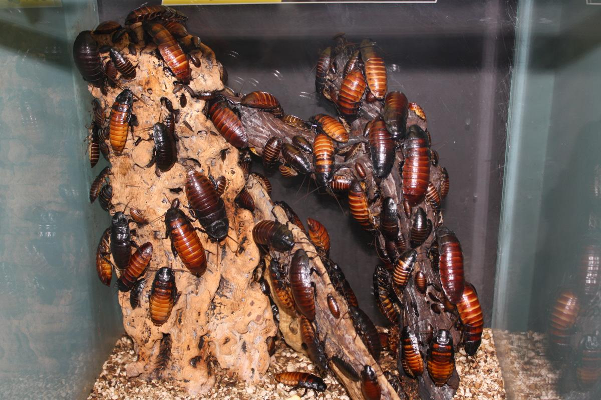 Buy a cockroach, help the zoo